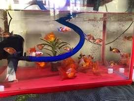 Ikan Koki Ryukin Oranda Baby Ranchu