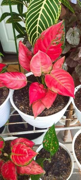 Bunga Aglonema merah dan pink