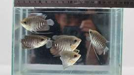 Dijual benih ikan #R