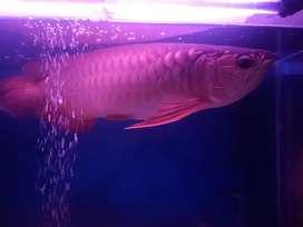 Ikan Arwana Golden Red Panjang 40cm