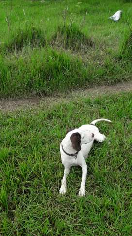 Pointer fee mal dogs for sale full hanting