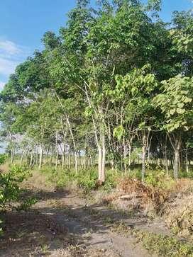 Jual Tanah + Kebun Karet Siap Sadap