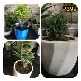 Indoor Plants with combo of 3 at cheapest price only at Rs. 299