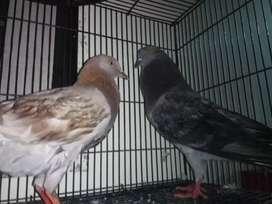 Burung dara / Merpati pasangan
