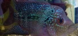 Ikan neon tetra / zebra pink/ louhan / stemplant
