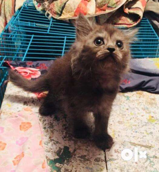 Female Persian kitten two months old 0
