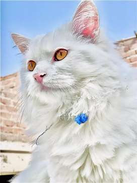 Male cat for sale doll face age 8 month