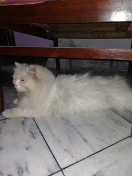 Persian cat male extreme