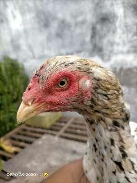 Ayam bangkok ekor lidi