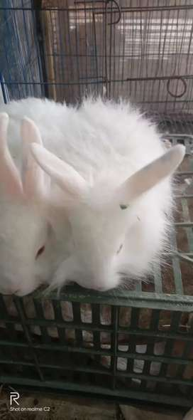 Lion Head Angora Breeder pair and 3Months Bunnies available