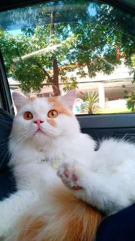 Jasa pacak kucing persia
