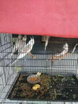 Di jual burung parkit australia