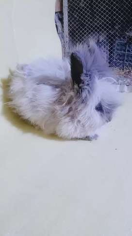 German Angora lionhead dwarf male Sale & Exchng