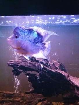 Ikan lohan jenong