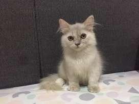 Kucing persia medium 3bln
