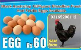 Austrolap fresh and pure  fertile eggs available