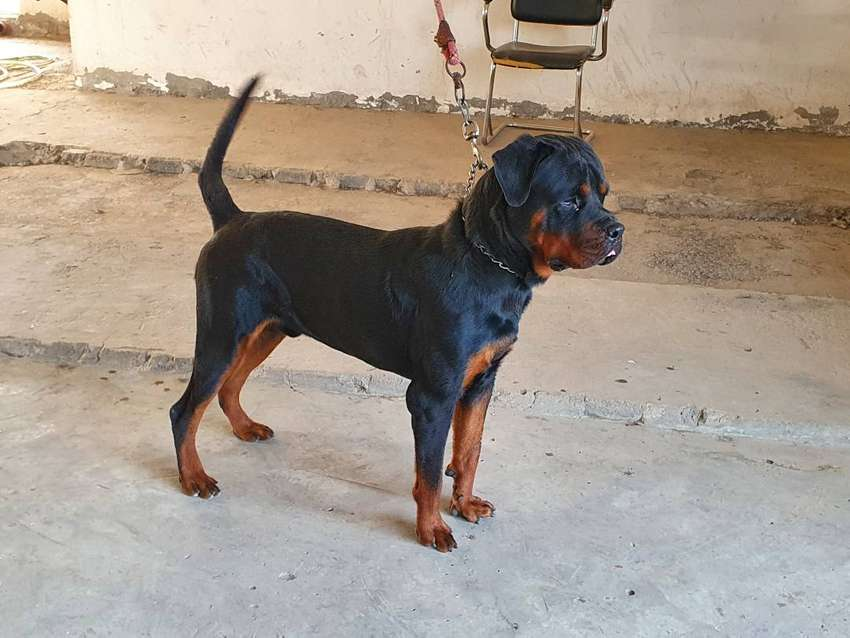 Male rottweiler  for sale 0