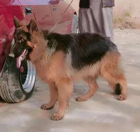 German shepard dog male age 10 month for sale