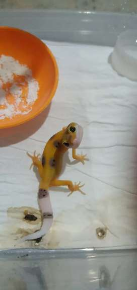 Jual leopard Gecko murahhhhh