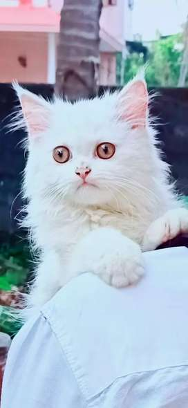 Dol persion cat
