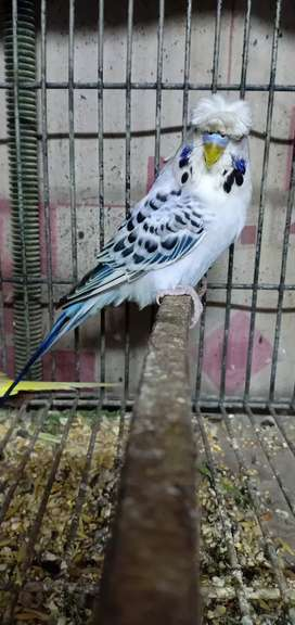 Breedr Male Available