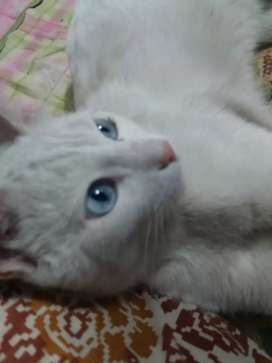 Pure persian blue eyes male cat