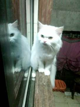 White persian cat for fale