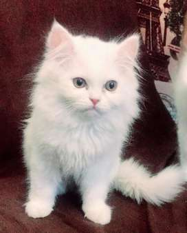 Pure Persian Kittens for Sale in Islamabad