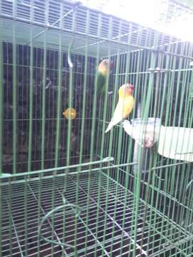 Lovebird rawatan  sendiri dan sangkar