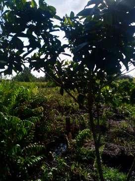 Dijual Kebun Rambutan Binjai Luas 510 meter persegi