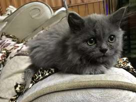 Cat for sale in lahore