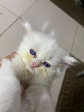 Cats kids 1 month extrem face male