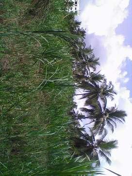 Super Napier grass