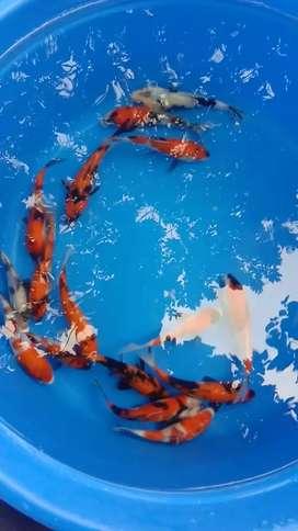 Ikan koi blitar size 15 sampai 18cm