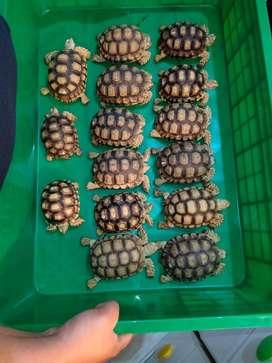 Sulcata Tortoise size 8cm
