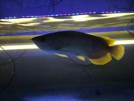 Dijual Ikan Arwana Banjar Gold