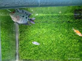 Ikan louhan cencu 200 nego