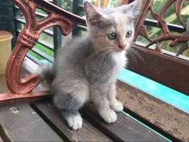 Kucing Anggora Kitten 2.5 Bulan