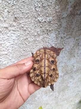Peruvian Mata Mata 7/8 cm