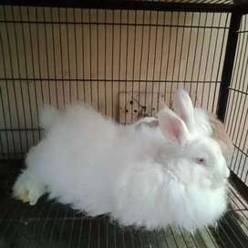 Giant angora rabbita and bunnies.