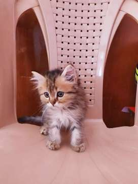 Cute Lil Persian Kitten