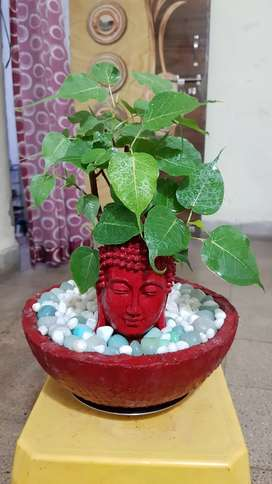 Bonsai Pipal Tree For Sell