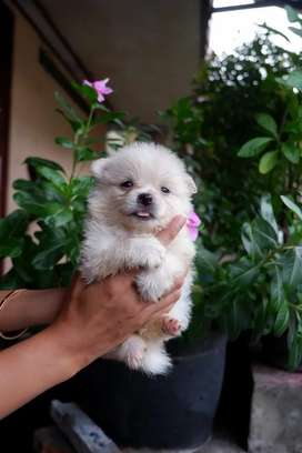 Anjing minipom dan superminipom cakep