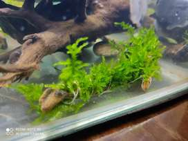 Peacock moss attached to mayalsian driftwood for SALE