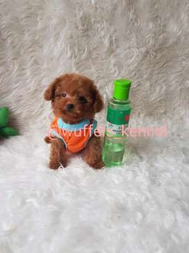 Red Toy Tiny Poodle
