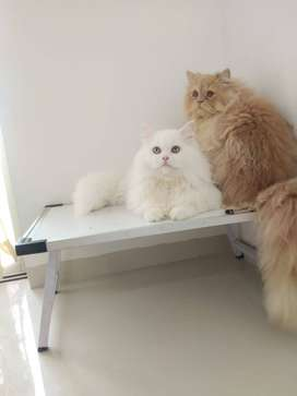 For mating - Snow white Persian blue eye cat available
