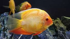 Big size breeding pair Red spotted severums