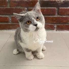 Kucing scottish straight anakan import