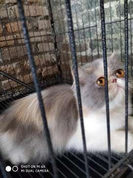 Kitten kucing persia peaknose longhair betina