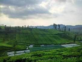 Jual kebun teh 1,2 ha pinggr jln
